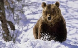 In 2 februarie ursul ne spune cat de lunga va fi iarna