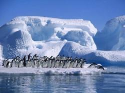 Antarctica: 150.000 de pinguini Adelie au murit dupa ce un iceberg gigant le-a blocat colonia