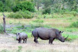 Masacrul rinocerilor albi din Africa de Sud. Braconierii au dat din nou iama in exemplarele din Parcul National Kruger