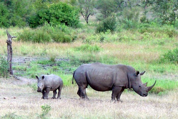 Masacrul rinocerilor albi din Africa de Sud. Braconierii au dat din nou iama în exemplarele din Parcul Na?ional Kruger