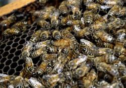 Rezultatele unui studiu: pesticidele reduc capacitatea de munca la albine lucratoare si forteaza stupii sa flamanzeasca