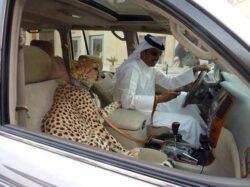 Autoritatile arabe vor sa interzica saracilor sa mai detina masini