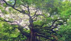 Tratamente din scoarta de stejar