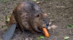 Solutia impotriva inundatiilor din Marea Britanie vine de la castori