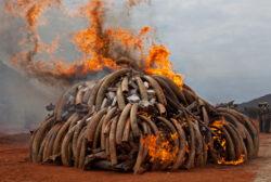 Ecologie fara fond. Franta, dupa SUA si China, si-a distrus rezervele de fildes in numele salvarii elefantilor. Piata neagra a coltilor albi, in crestere exponentiala