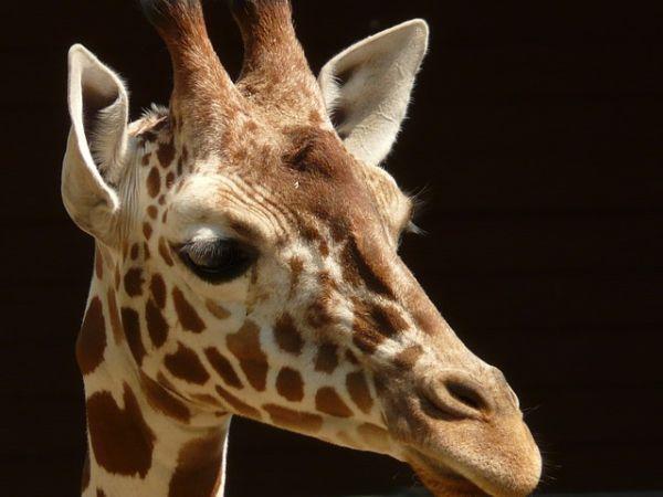 O gradina zoo daneza a impuscat o girafa pentru ca avea prea multe