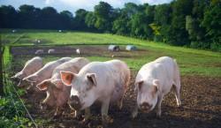 Porcii crescuti in zonele cu pomi, in regim ecologic, sunt mult mai sanatosi