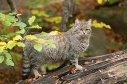 Pisica salbatica: o umbra prin padurile Romaniei