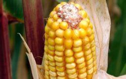 Porumbul modificat genetic poate fi cultivat pe teritoriul UE