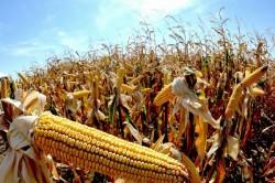 Raport: fermierii cultiva mai mult decat oricand plante modificate genetic