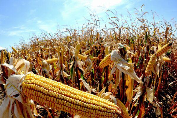 Porumbul modificat genetic, singura planta aprobata pentru cultivare in scop comercial, in Uniunea Europeana