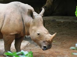 Una dintre cele mai cunoscute specii de animale, pe cale de disparitie