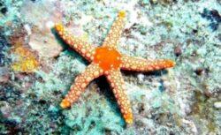 Stelele de mare, ucise in masa de o boala misterioasa care le destrama corpurile