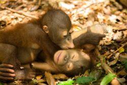 Uleiul de palmier omoara urangutanii din Indonezia
