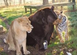 Declinul carnivorelor mari – o problema globala pentru conservare