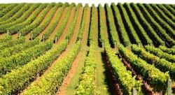 Sicilia: Teren confiscat de la mafie si transformat in vii ecologice