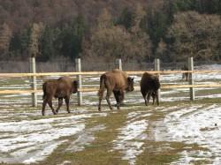 Prodecanul de la Silvicultura, chitit sa impuste zimbrii din Romania