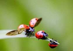 Buburuzele sunt adevarate campioane in lumea insectelor