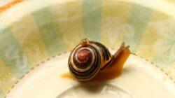 Veninul unei specii de melci marini, un analgezic mai puternic decat morfina