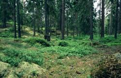 Padurile virgine de fag din Romania ar putea fi inscrise in Patrimoniul UNESCO