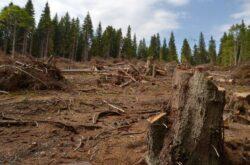 Afacerile dubioase cu lemn romanesc, in anchetele presei straine
