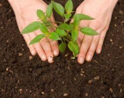 In Calan se planteaza un pom pentru fiecare bebelus
