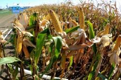 Uniunea Europeană este aproape de un acord de autorizare a cultivării organismelor modificate genetic (OMG)
