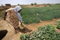 Culturile modificate genetic pentru rezistenta la seceta ocupa suprafete din ce in ce mai extinse