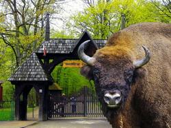 Padurea Białowieża: natura fara frontiere