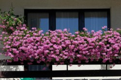 """Bistrita verde"": Proprietarii celor mai frumoase gradini si balcoane cu flori vor fi premiati si in 2014"