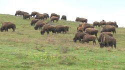 Cea mai mare ferma de bizoni din Europa, o investitie care s-a ridicat la 1,5 mil. euro, inaugurata in judetul Cluj