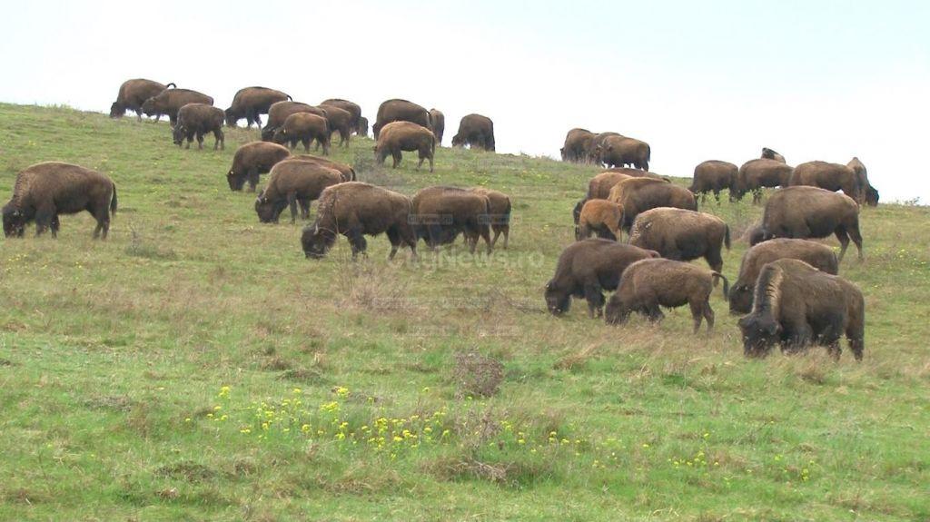 Sute de bizoni ucisi in parcul Yellostone - cine si de ce sacrifica animalele