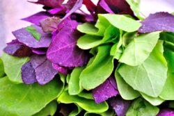 Loboda, planta cu puternice proprietati detoxifiante