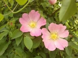 Macesul, trandafirul salbatic
