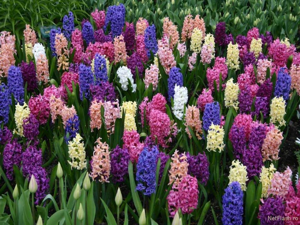 Ce secrete ascund florile de prim?var?. Efectele lor miraculoase pentru s?n?tate