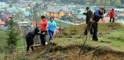 Plantare de perdele forestiere de salcam