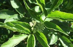 Pesticid ecologic din ceai de frunze de soc