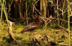 Album cu specii rare de pasari din lunca si Delta Dunarii