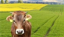 De ce recomanda oamenii de stiinta dieta cu rapita... pentru vaci?