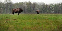 Zimbraria Neagra, cea mai mare din tara, ar putea fi extinsa pentru ca animalele nu mai au loc