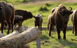 Zimbrii din Bucsani nu vor mai fi impuscati. Directia Silvica ar putea extine suprafata Zimbrariei Neagra pentru a face loc tuturor animalelor