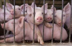 Bunastarea animalelor, subventionata