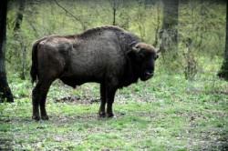 Un zimbru din Romania a fost inclus in ce mai mare proiet european de salvare a speciei