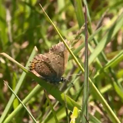 Patru specii rare de fluturi din Cluj, unici în Europa, îi îmbog??esc pe proprietarii de fâne?e