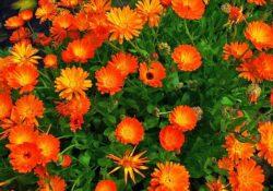 Galbenele, insecticid pentru sol