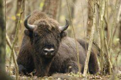 Habitatul celui mai mare mamifer din Europa, declarat sit al patrimoniului mondial