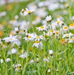 Musetelul, planta decorativa si medicinala