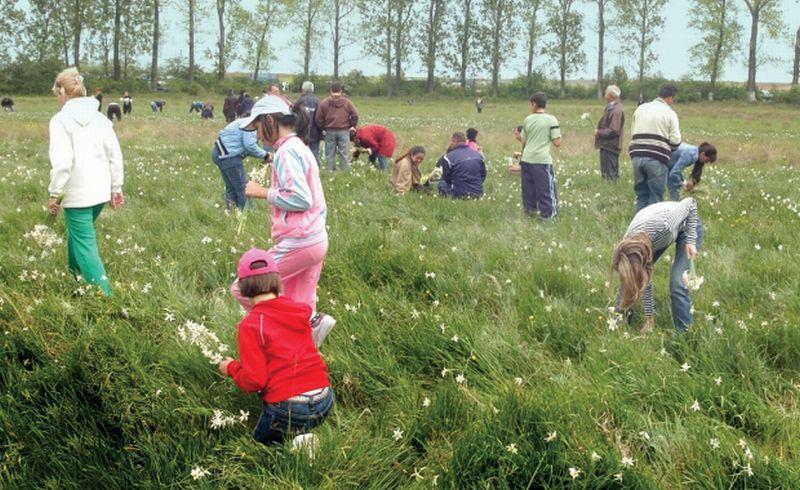 Natura face spectacol în Poiana Narciselor