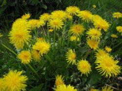 Plante care calmeaza alergiile