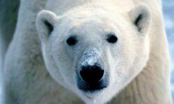 Ursii polari devin vegetarieni!